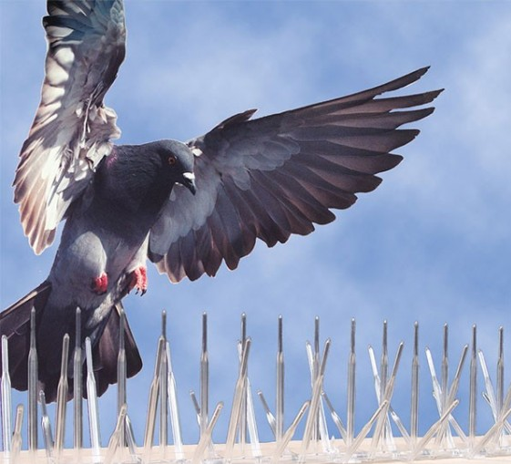 How-to-get-rid-of-pigeons